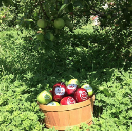 A bushel of Fun to Eat Fruit Apples